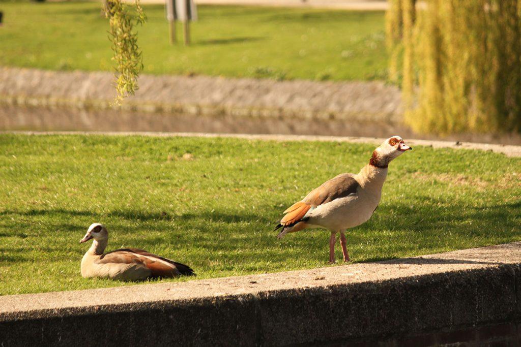 ウェステルパークの雁