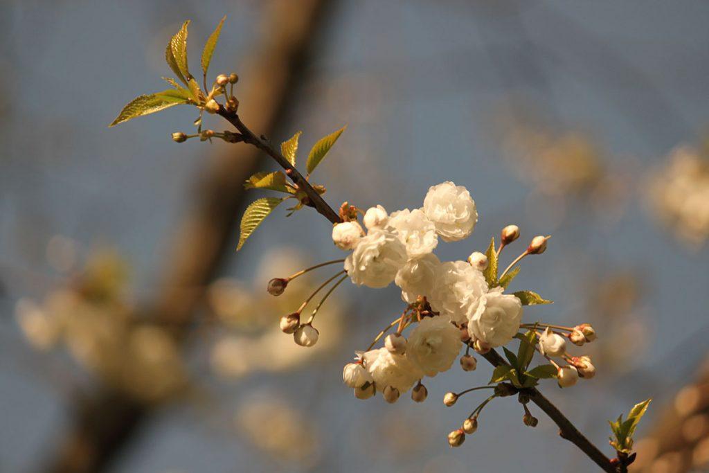 オランダの桜 #1