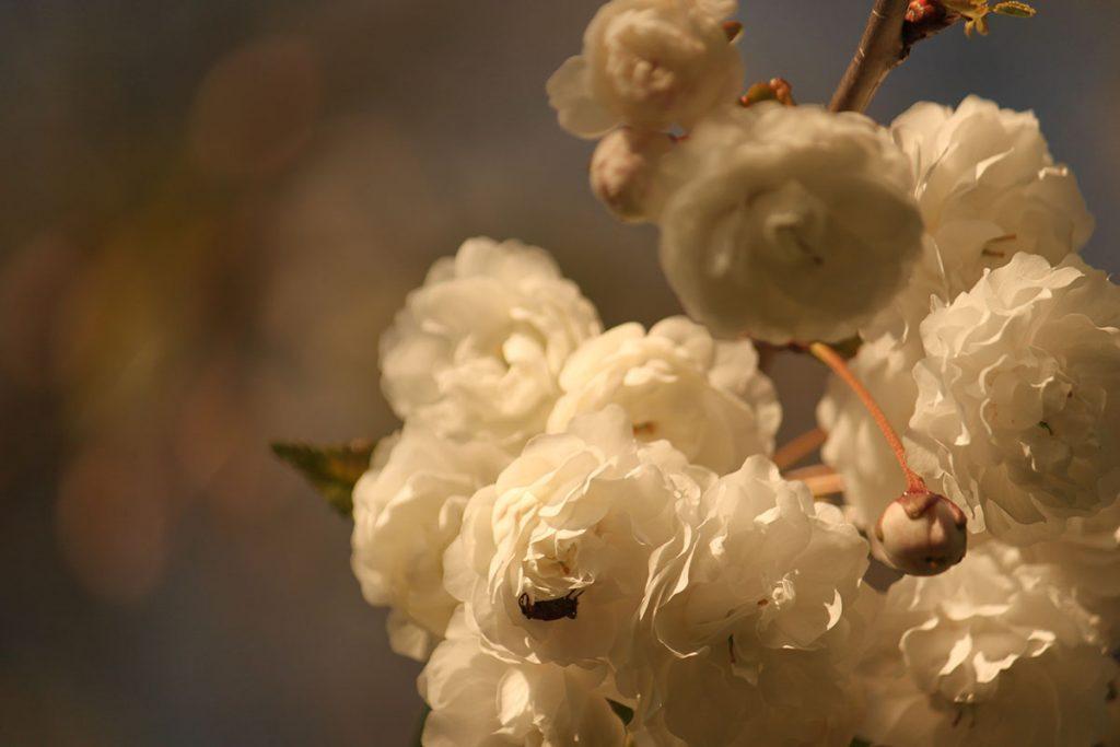 オランダの桜 #2