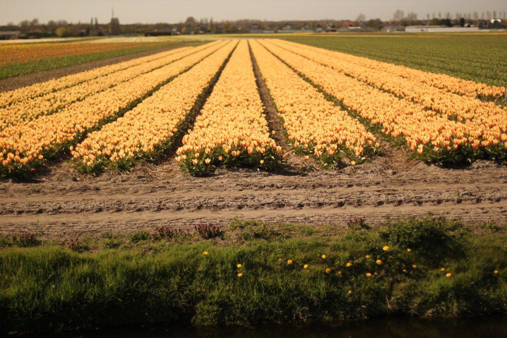 オランダのカラフルなチューリップ