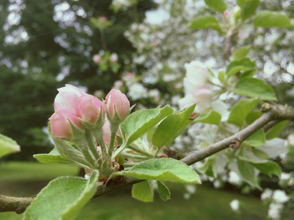りんごの花のつぼみ