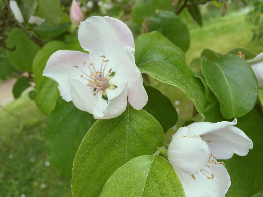 セイヨウカリンの花