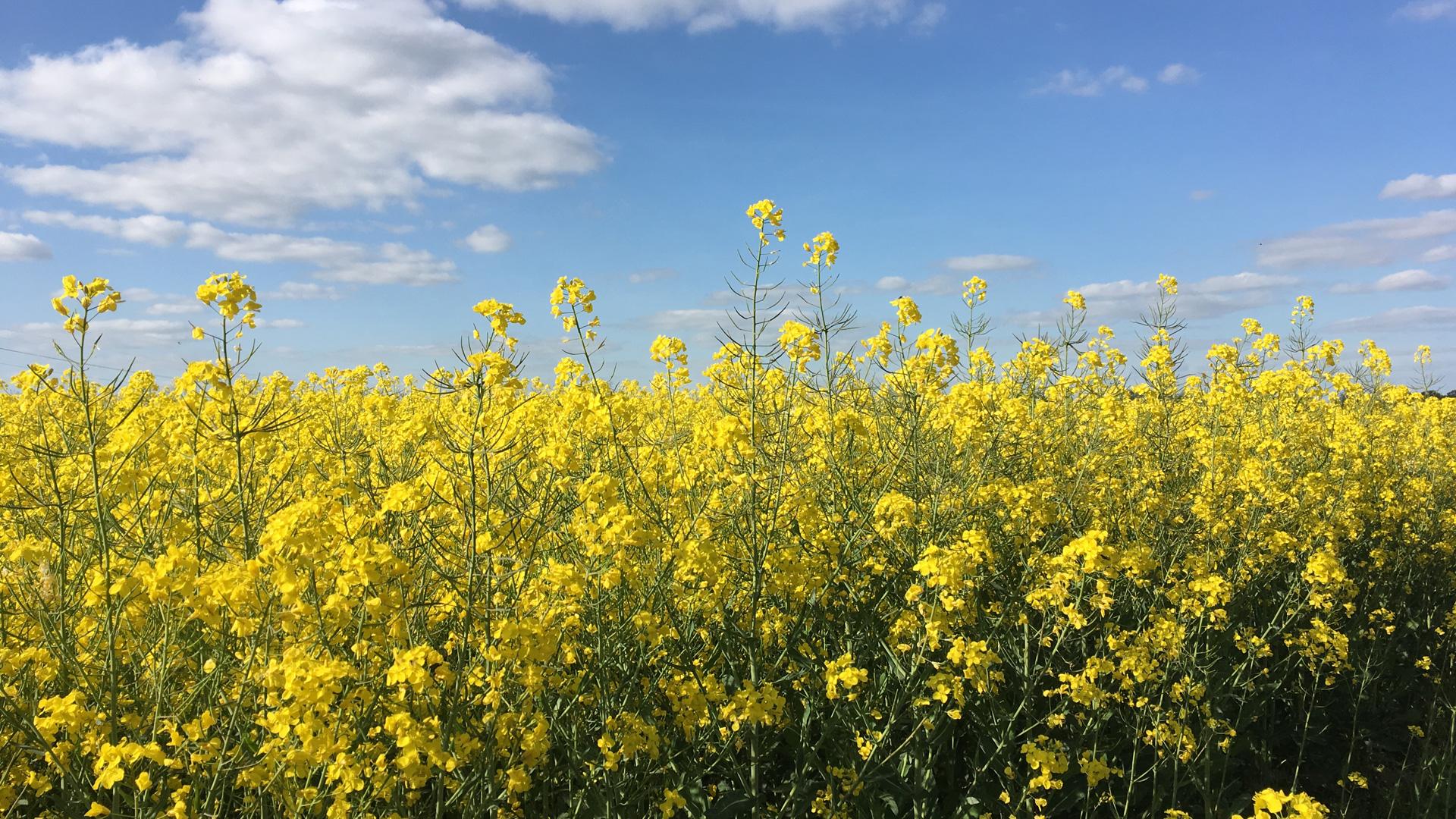 Le Champ de Colza - 菜の花畑